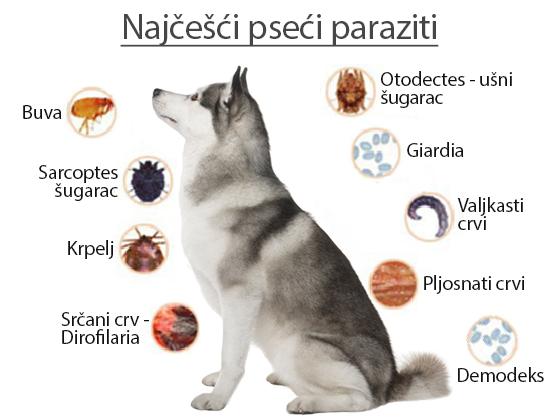 Paraziti u krvi simptomi